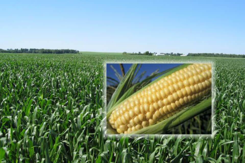 Zaproszenie na polową prezentację mieszańców kukurydzy i traw